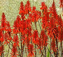 Aloes by Ron LaFond