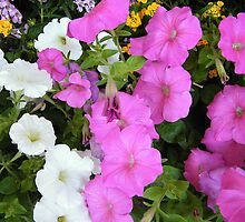 Petunias on Display by WeeZie