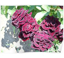 Amazing Roses # 5. Poster