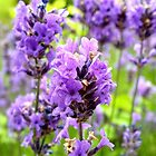Purple Haze by Mounty