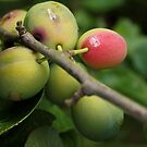Garden Plums by bared