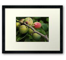Garden Plums Framed Print