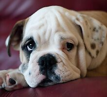Bulldog Puppy by Lanii  Douglas