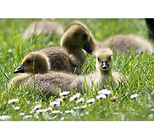Little Gosling at Kew Photographic Print