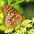 She Dances in the Sun (Greater Spangled Fritiallary Butterfly) by lorilee