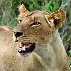TROUBLE - THE LION – Panthera leo by Magriet Meintjes