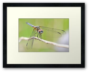 Blue Dasher Sighting. by William Brennan