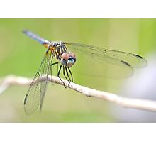 Blue Dasher Sighting. Photographic Print