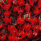 Sturt's Desert Pea, Outback South Australia  by Carole-Anne
