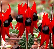 Spring in the Outback: Sturt's Desert Pea  by Carole-Anne