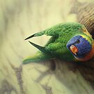 Rainbow Lorikeet by Christopher Pope