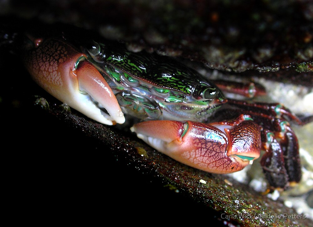California's Christmas Crab by Carla Wick/Jandelle Petters