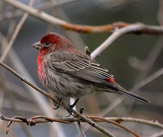 Red Finch by Sheryl Gerhard
