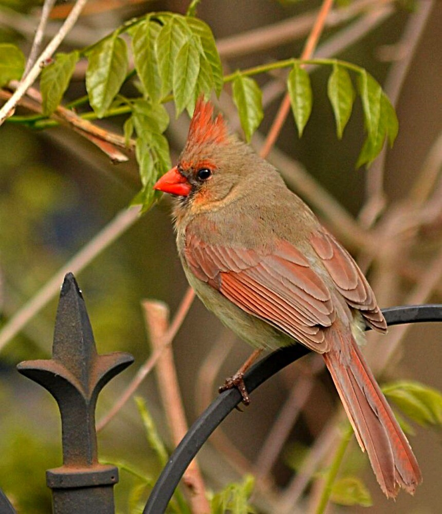 Female Cardinal by Sheryl Gerhard
