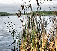 Lakeside Cattails by kenspics
