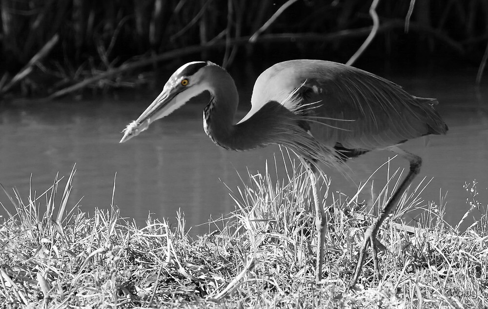 Great Blue Heron, (B&W - selective color) by rjcolby