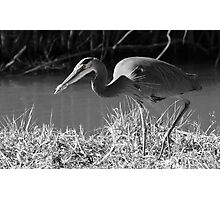 Great Blue Heron, (B&W - selective color) Photographic Print