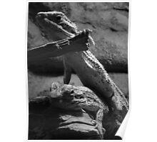 Western Bearded Dragons (Pogona minor) Poster