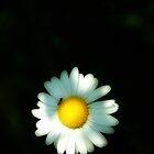 """""""Chloe's Daisy""""  by Steven Geer"""