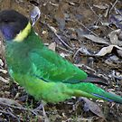 Australian Ringneck Parrot (Barnardius zonarius), John Forrest National Park, Western Australia by Dan &amp; Emma Monceaux