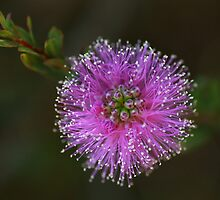 purple explosion by Isabel  Rosero