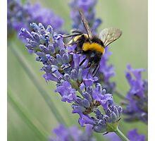 Bee on Lavender stem Photographic Print