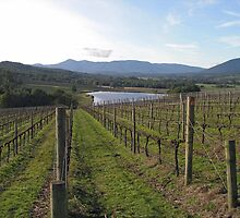 Syme Vineyard by rjpmcmahon