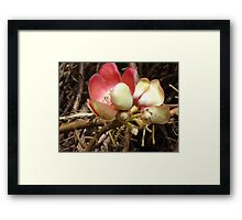 Cannon Ball tree flower Framed Print