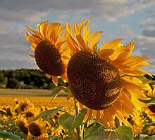 Sunflowers at sunset by Nigel Jones