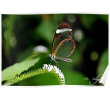 Clearwing Butterfly Poster