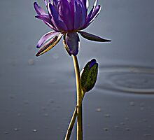 Purple lily by Carmel Williams