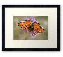 Male Spotted Fritillary Framed Print