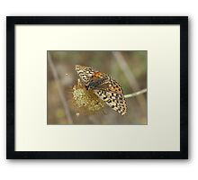 Female Spotted Fritillary Framed Print