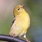 A Proud Goldfinch by Robert Kelch, M.D.