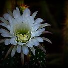 White Echinopsis by Saija  Lehtonen