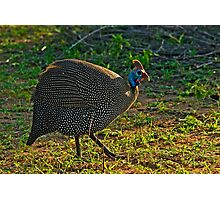 Helmeted Guineafowl (Numida meleagris) Photographic Print