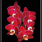Phalaenopsis Orchid by vette