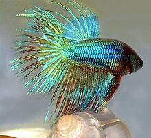 Fan Tail Betta Fish by vette
