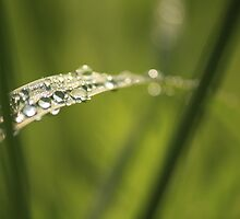 Raindrops on Tender Grass by reindeer