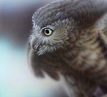 Barking Owl by Christopher Pope