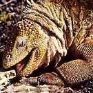 &quot;Tastes Good !!&quot;, Land Iguana, Galapagos  by Carole-Anne