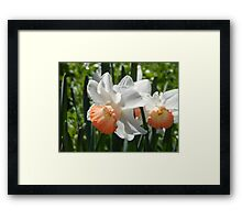 Two-tone Daffodils Framed Print