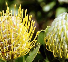 Proteas, Kirstenbosch Gardens, South Africa  by Carole-Anne