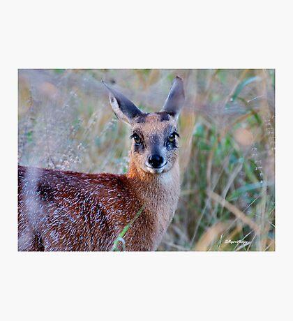 THE TINY, SHY, SCARCE, SHARPE'S GRYSBOK – Raphicerus sharpei Kruger National Park Photographic Print