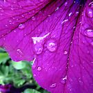 Rain on Petunia by Brian Varcas