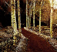 Silver Birch by Margi