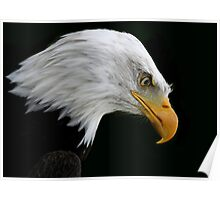 The American Bald Eagle Poster