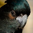 """""""Black Cockatoo"""" by Sophie Lapsley"""