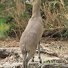 Klipspringer by John Banks