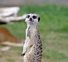 meerkat by liza scott